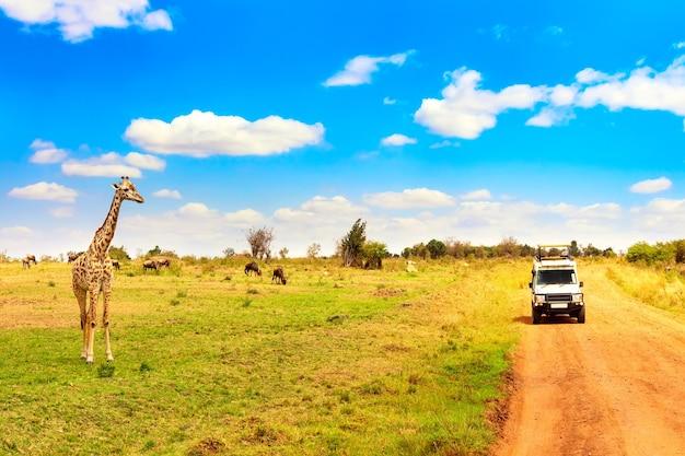 Girafa selvagem perto de carro safári no parque nacional de masai mara, no quênia. conceito de safari. paisagem de viagens africanas.