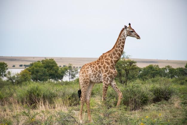 Girafa solitária caminhando em uma floresta com muitas árvores verdes