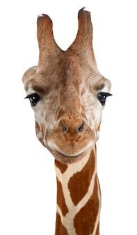 Girafa somaliana, vulgarmente conhecida como girafa reticulada, giraffa camelopardalis reticulata, de pé contra a parede branca isolada