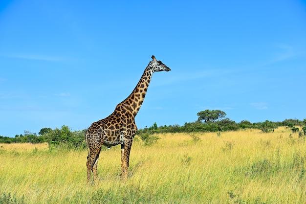 Girafas africanas no parque masai mara da savana