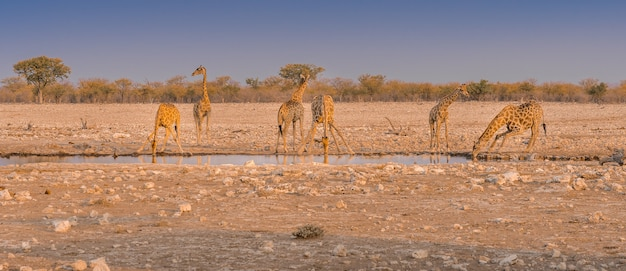 Girafas bebendo água em um poço no parque nacional de etosha, na namíbia