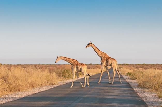 Girafas cruzando a rua