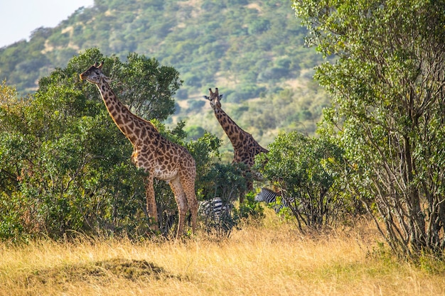 Girafas e zebras comendo no parque nacional masai mara, animais selvagens na savana. quênia