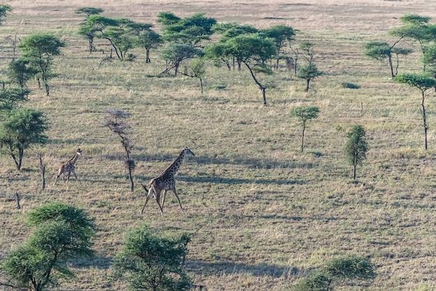 Girafas em um campo coberto de grama e árvores sob a luz do sol durante o dia