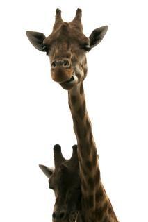 Girafas, jardim zoológico