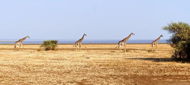 Girafas no lago manyara - tanzânia
