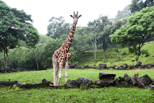 Girafas no parque de vida selvagem lindos animais selvagens na floresta tropical