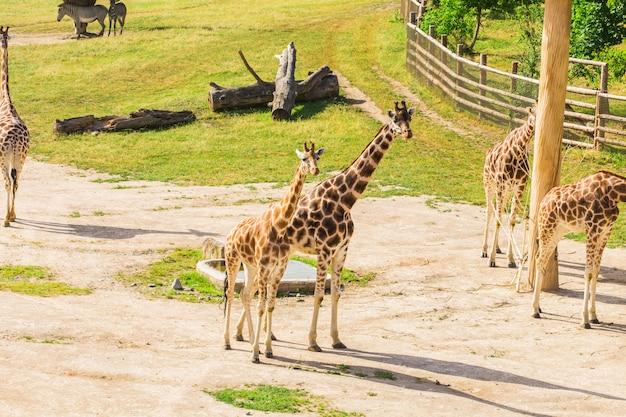 Girafas no parque zoológico safari. animais da bela vida selvagem em dia quente e ensolarado