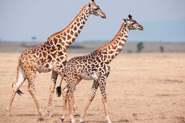 Girafas no quênia