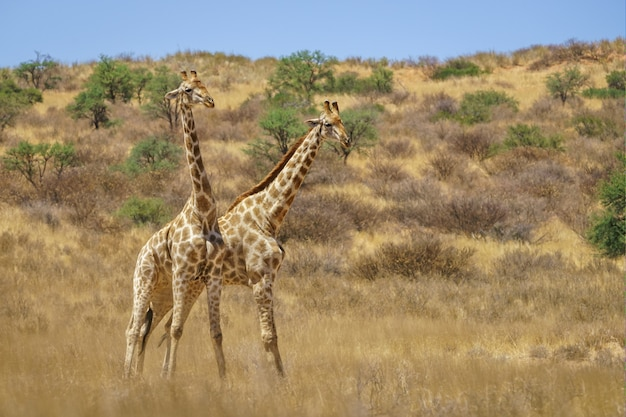 Girafas que lutam contra as sombras em uma terra arborizada durante o dia