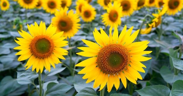 Girassóis amarelos em um prado