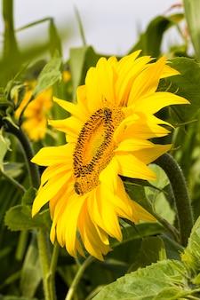 Girassóis amarelos