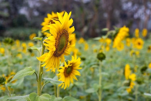Girassóis coloridos em um campo próximo ao fundo