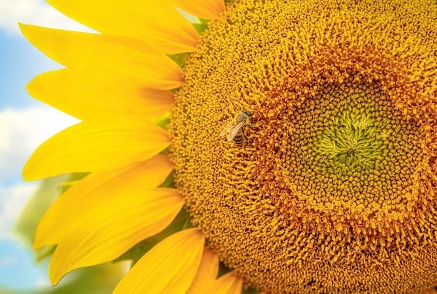 Girassóis com abelha ao amanhecer de perto