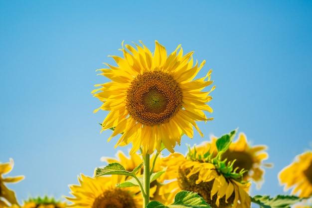 Girassóis em campo com dia ensolarado céu azul