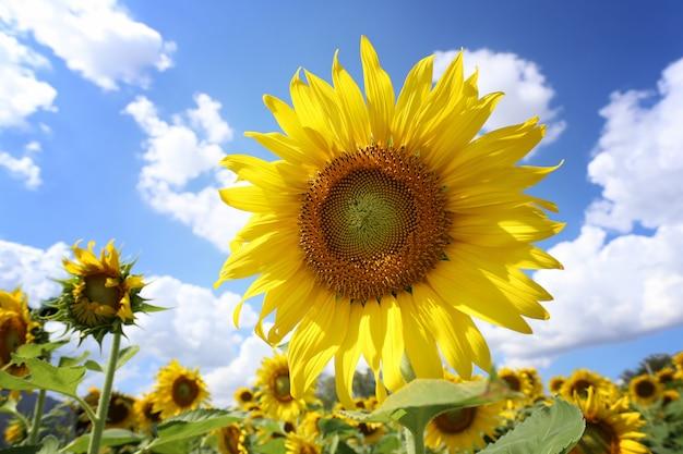 Girassóis estão florescendo e luz do sol em um dia claro.