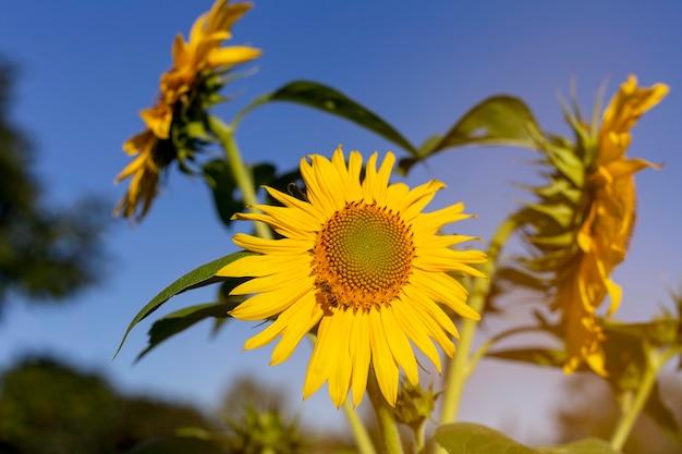 Girassóis florescem em um campo com céu azul
