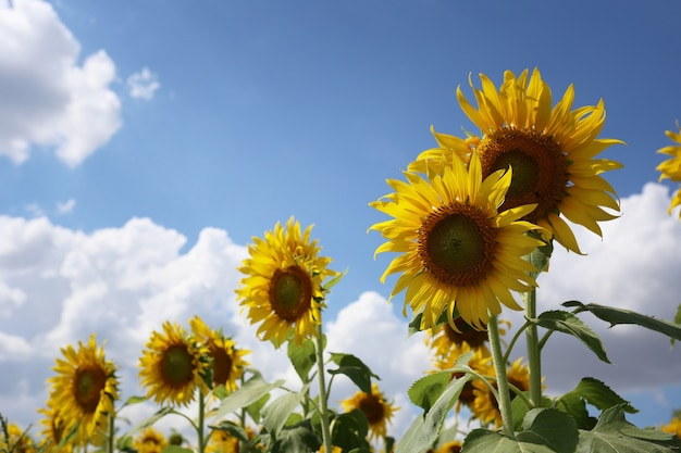 Girassóis florescendo em um céu azul