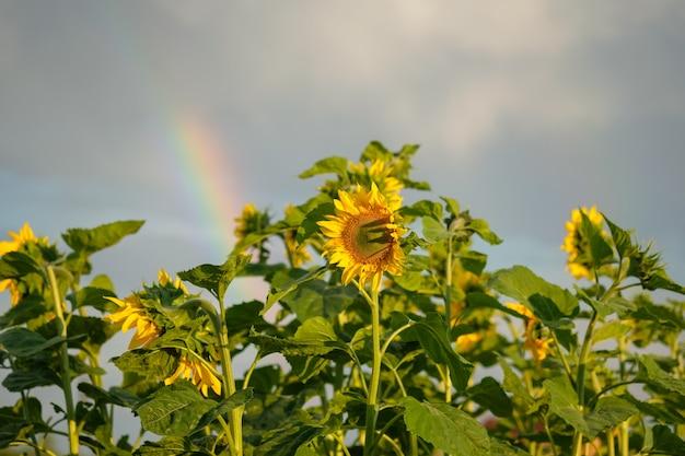 Girassóis florescendo em um fundo do arco-íris. lindo fundo natural