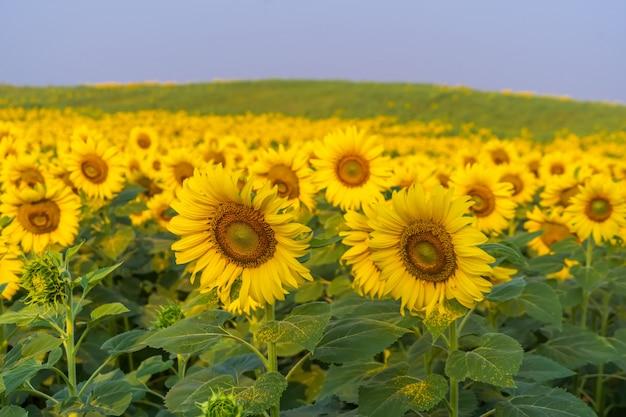 Girassóis florescendo na fazenda com céu azul,