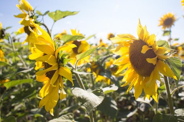 Girassóis florescendo no campo de verão