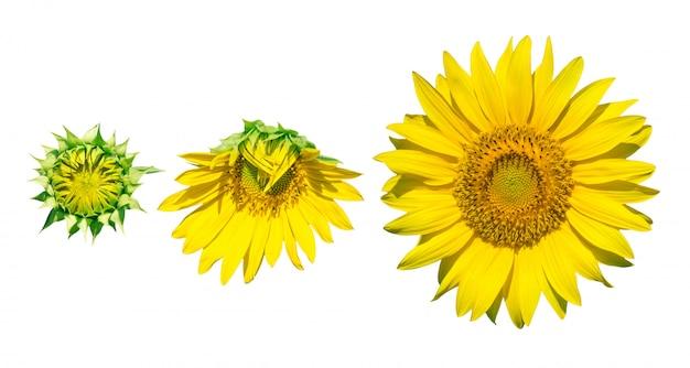 Girassóis frescos amarelos