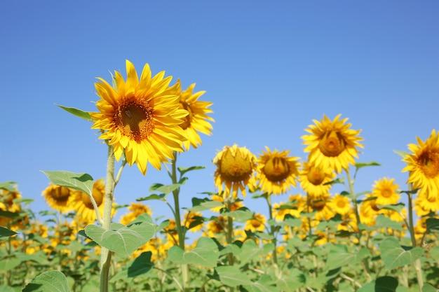 Girassóis no campo de verão