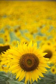 Girassol amarelo brilhante no wat khao jeen lae, lopburi, tailândia