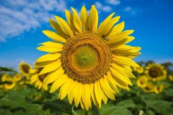 Girassol amarelo brilhante