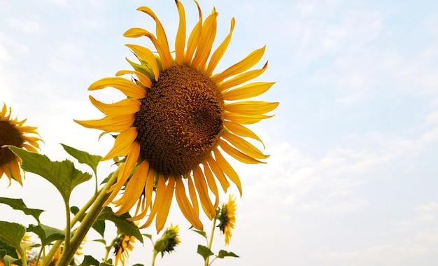 Girassol amarelo com fotografia floral do céu