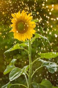 Girassol amarelo com muitas gotas de água.