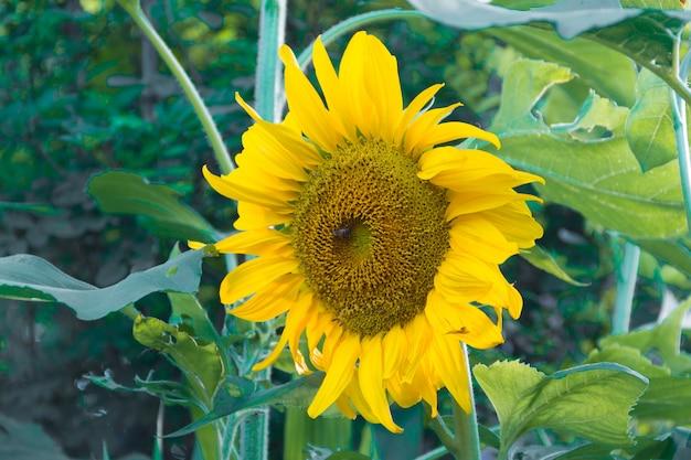 Girassol amarelo cultivado na horta
