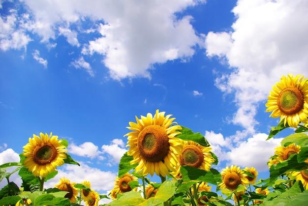 Girassol amarelo e fundo de céu azul