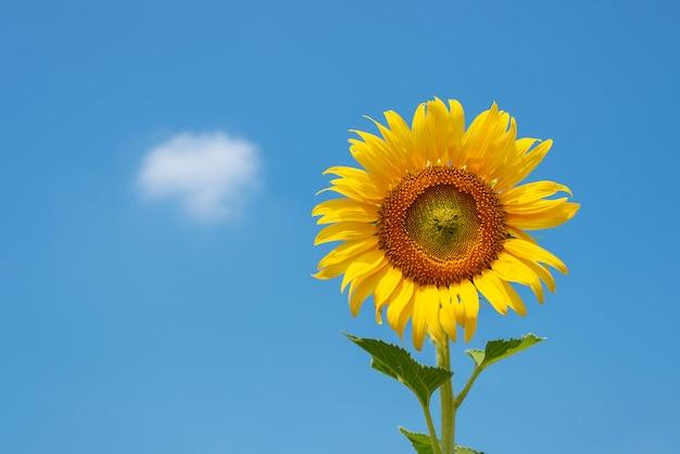 Girassol amarelo gigante em plena floração e céu azul