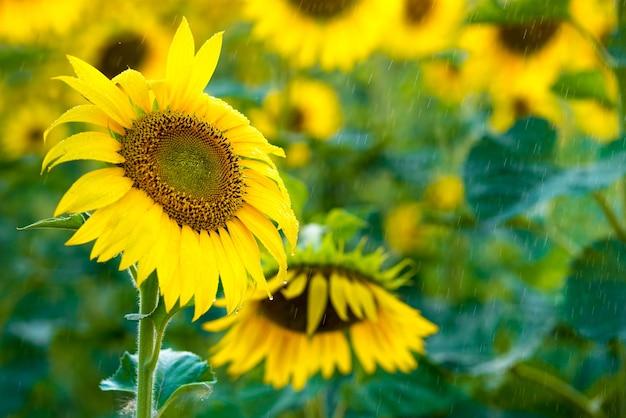 Girassol amarelo lindo na chuva de verão, dia ensolarado.