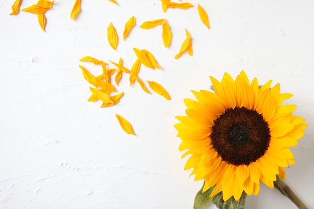 Girassol amarelo sobre um fundo branco. bouquet de girassol amarelo, conceito outono, vista superior, espaço para texto. isolado no fundo branco. girassol florescendo. flores amarelas brilhantes