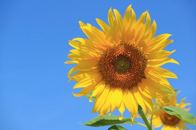 Girassol amarelo vibrante contra o céu azul vívido com espaço livre para texto ou design