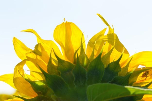 Girassol amarelo