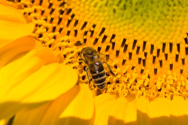 Girassol anual com pétalas amarelas em um campo agrícola