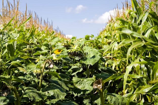Girassol anual com sementes pretas, obtendo uma safra de sementes para uso na indústria alimentícia