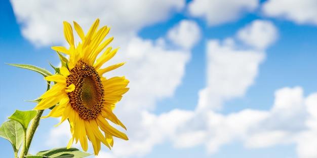 Girassol bonito contra o céu e as nuvens. flor amarela sobre um fundo azul com espaço para texto.