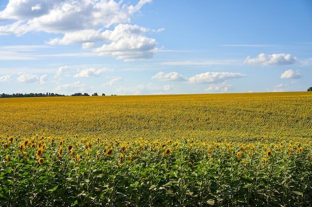 Girassol campo agrícola céu nublado fundo época de colheita verão