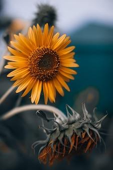 Girassol de outono laranja com sementes e pétalas brilhantes em fundo desfocado. beleza da natureza