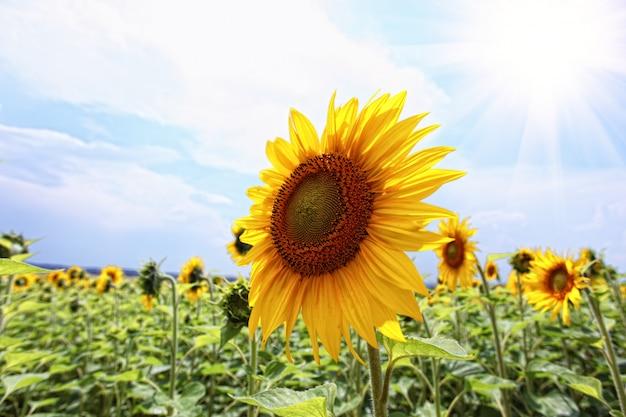 Girassol de verão no campo contra o céu azul