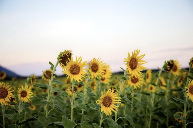 Girassol em campo e o céu com pôr do sol.