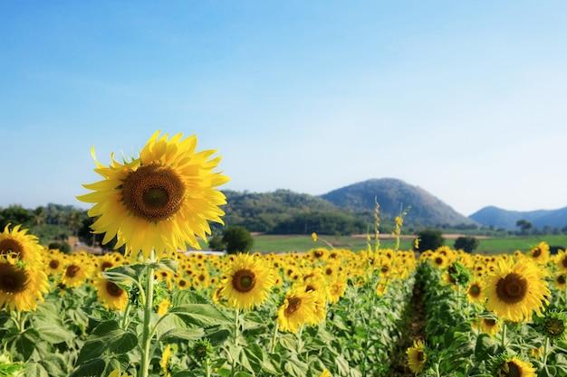 Girassol em campo no verão com o céu azul.