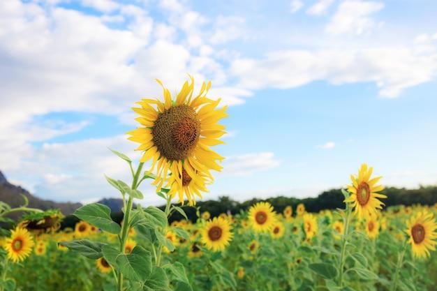 Girassol em campos com o céu no verão.