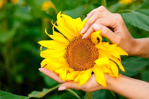Girassol em mãos femininas no fundo do campo de girassóis