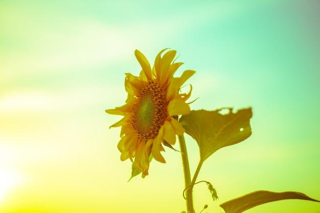 Girassol em um fundo verde-amarelo. foto artística, foco seletivo.