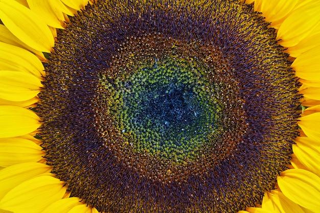 Girassol floresce. close-up de girassol.